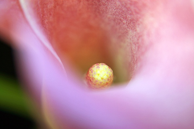 Zantedeschia aethiopica, Lily of the Nile, Calla lily, Easter lily, Arum lily, Varkoor, Belinda Grace Photography, Botanical Fine art, Flora, Flowers, Quad Cities, Moline Illinois, Bucktown Center for the Arts, MidCoast Fine Arts, The ARTery