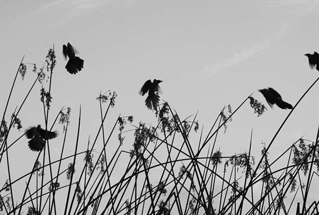 black and white silhouette of birds flying out of reeds on a lake