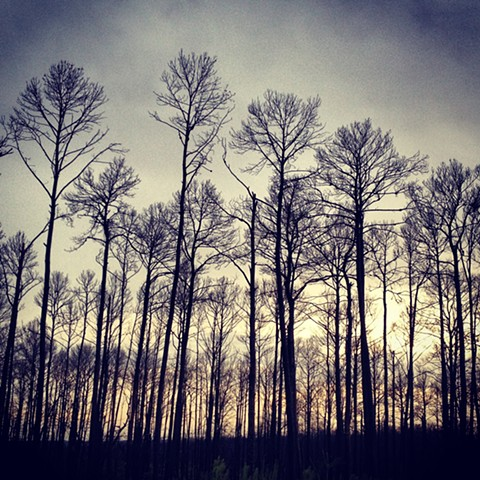 burned pine tree silhouettes in bastrop texas, taken with an iphone using instagram