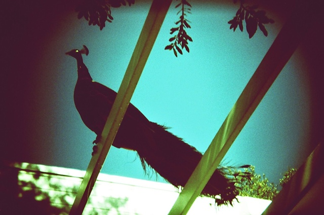 peacock at Austin's Mayfield park and preserve, shot with a Holga 135BC and Fuji 100 Provia slide film, cross processed