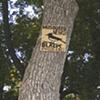 Tree Phoebe