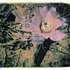 Desert Flower #3