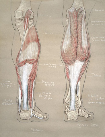 lower leg study, posterior aspect