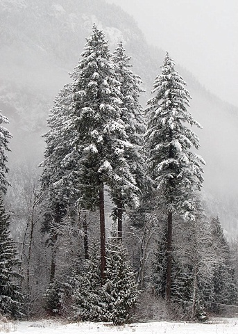 Pemberton - Douglas-fir in snow
