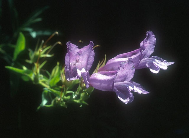 Slender blue penstemon