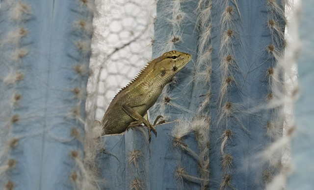 lizard, animals, nature