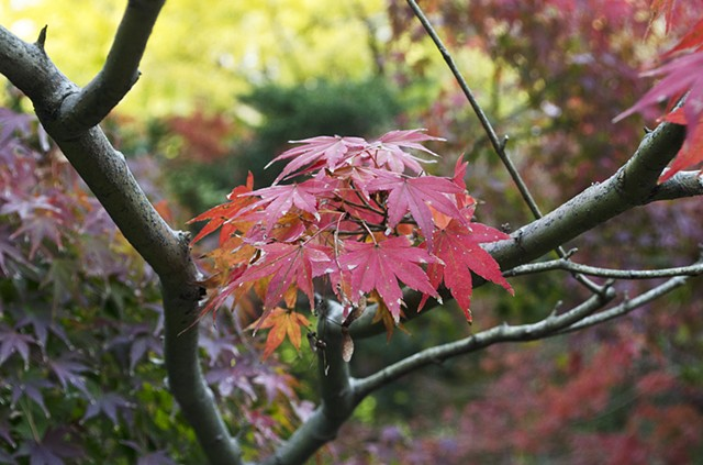 Japan, Kamakura, Fall colours, kouyou, kooyoo, maple