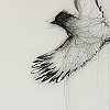 Phainopepla: Shadows on a Table and Memories of a Bird