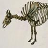 Skeleton of the Great White Buffalo
