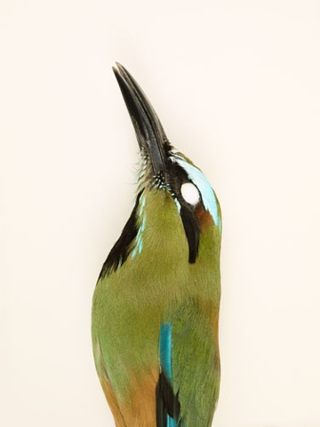 bird turquoise browed motmot photography danielmortensen art artphotography