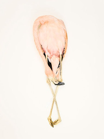 bird flamingo photography danielmortensen art artphotography