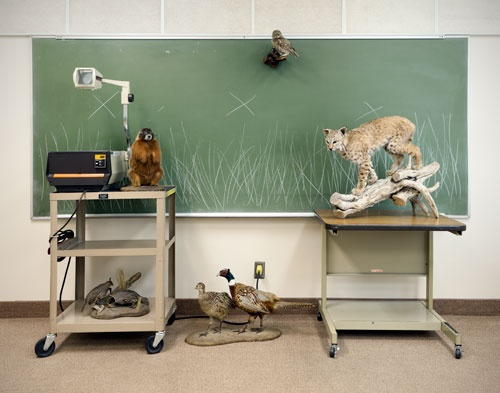 grassland animals, bobcat, quail, ring necked pheasant,burrowing owl, yellow-bellied marmot, taxidermy, art