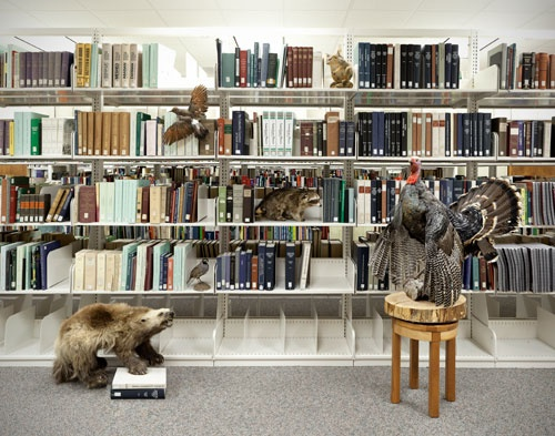 woodland animals, raccoon, wolverine, squirrel, library, books, flicker, quail, taxidermy, art
