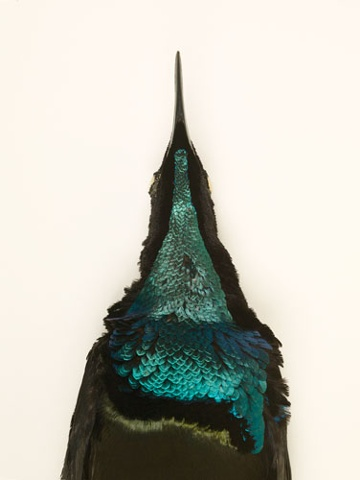 magnificentbirdofparadise magnificent riflebird paradise taxidermy photography danielmortensen art artphotography