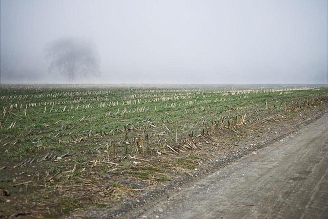 cornfield, morning fog burning off