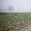 Corn field in fog