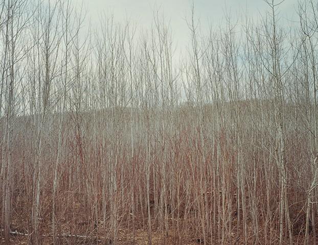 Poplars, Sawbill Trail 2001