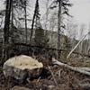 Blowdown Debris, Near Magnetic Rock, Gunflint Trail, Superior National Forest 2001