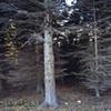 Trimmed Spruce, Near Iona's Beach 2002