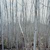 Poplars, Arrowhead Trail 2003