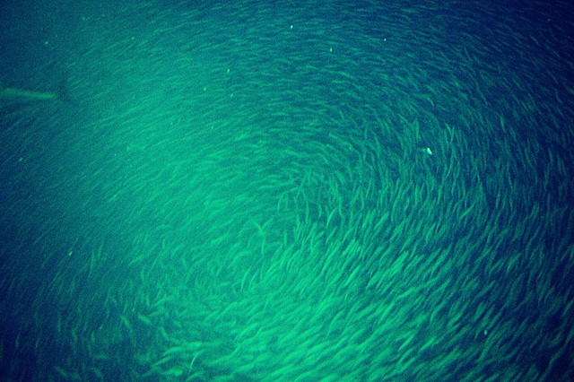 sardine, fish, school, ocean, sea, photo, photography, art, krista glavich, monterey, aquarium