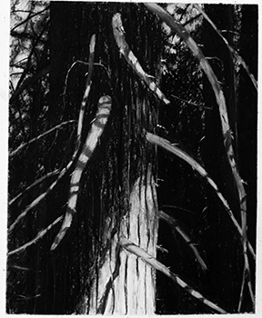 Redwood Series #2