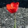 Red Tulip Study #1 & #2