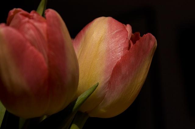Tulip Tulipa