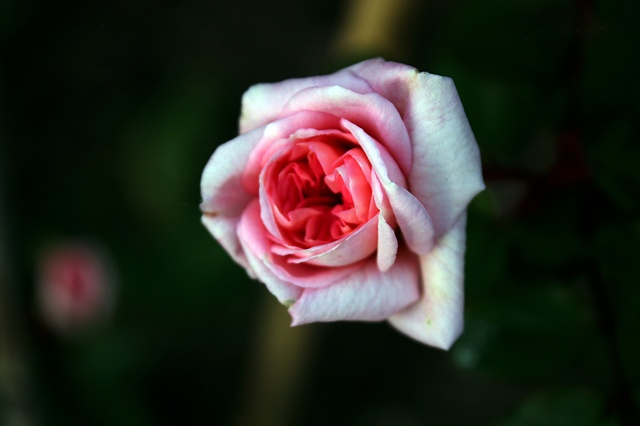 Tea Rose Rosa, Rosaceae