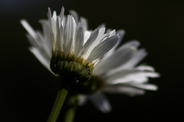 Alaskan Daisy - Leucanthemum x superbum 'Alaska'
