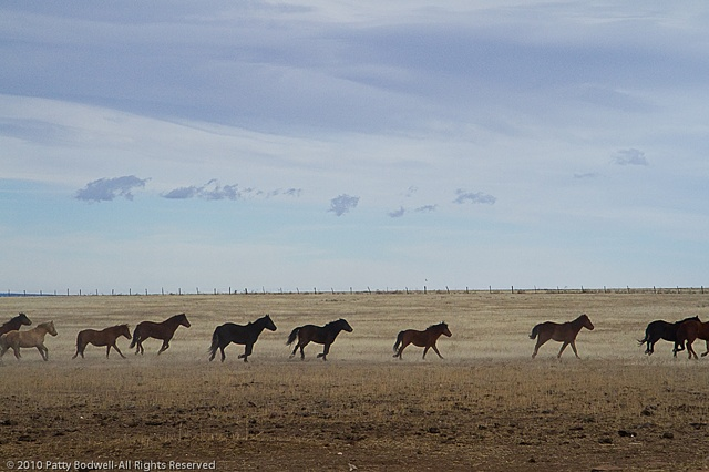 Mustangs from the Forestry Service, the BLM or Navajo Ponies