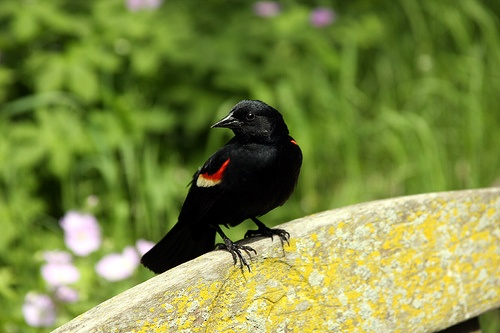 red winged blackbird on a bench