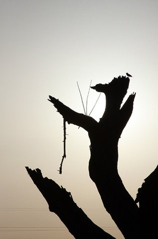old tree and bird silhouette