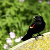 red-winged blackbird on a bench