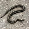 SOAR (snake on a rock)