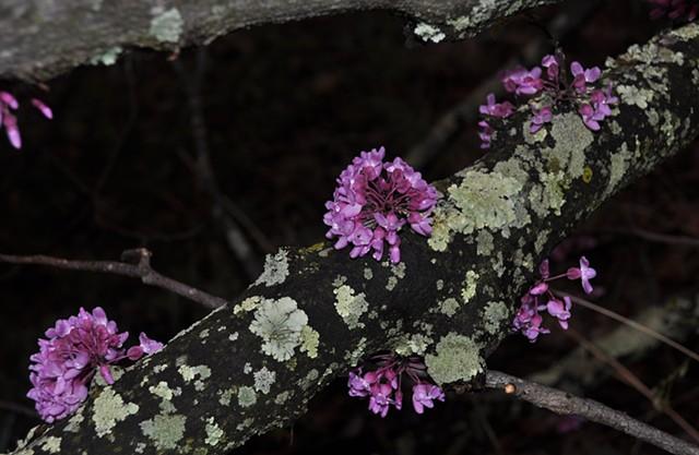 Flowering Tree Limb After Rain - Blountville, TN