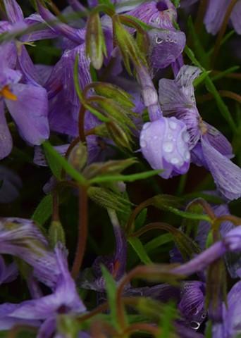 Pansies After Rain