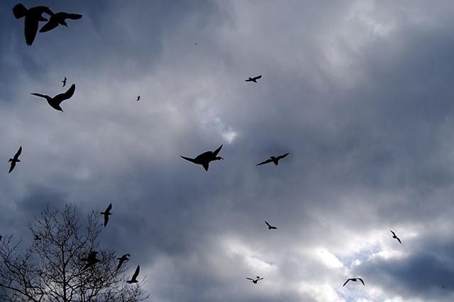 Seagulls In Flight - Lower Manhattan, NYC