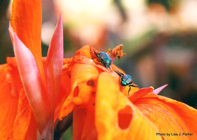 Beetles on Flowers - Nashville, TN