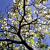 Dogwood Blossoms - Warrenton, VA