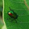Beetle On Leaf - Skyline Drive, VA