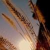 Fieldgrass Backlit - Clifton, VA