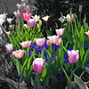 Tulips - Washington, D.C.