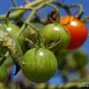 Last of the Summer Tomatoes - Amelia, VA