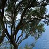 Tree and Stairs Capri
