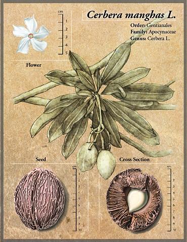 Cerber manghas L