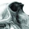 CMNH, Adolescent Baboon Cranium
