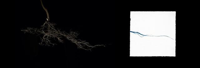 """Glossy Buckthorn, Rhamnus frangula, from the series """"Exotic/ Invasive Plants"""""""