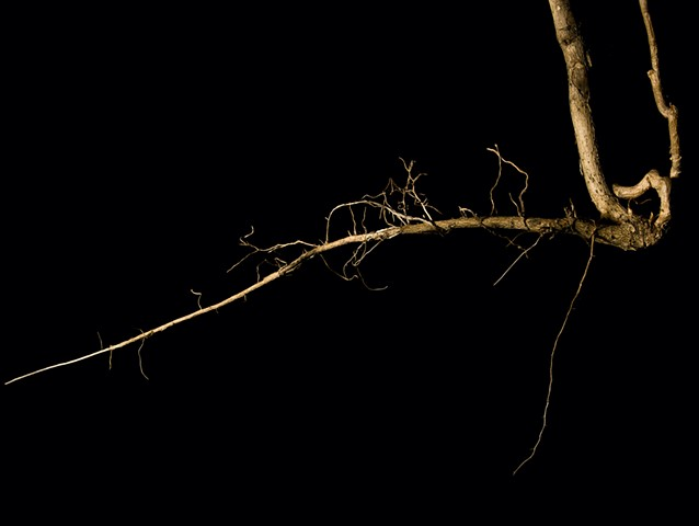 Detail Tree-of-Heaven