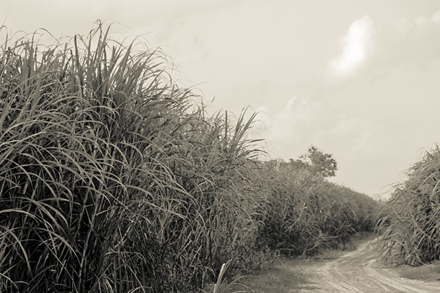 Sugar Cane Fields in Fall